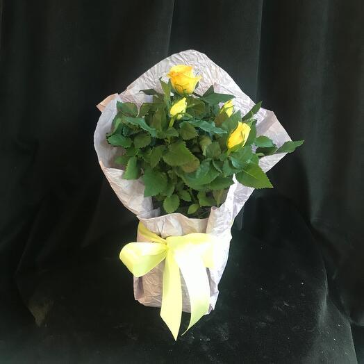 Желтые розу в горшках