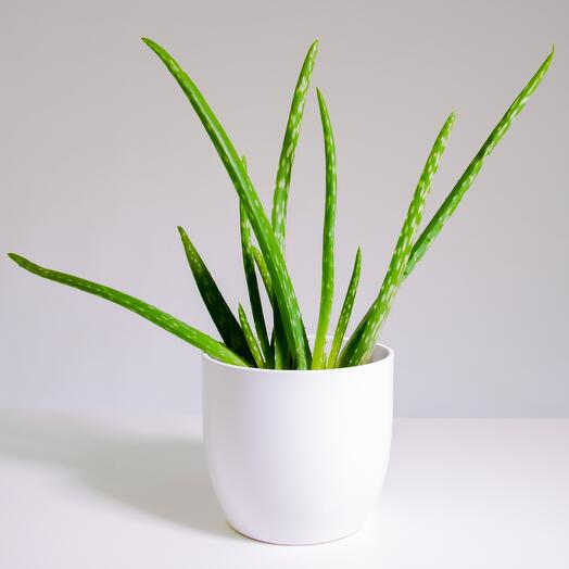 """Растение """"Алоэ Вера"""" пересаженное в Белый овал горшок"""