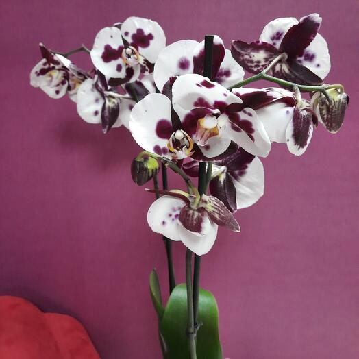 Орхидея Фаленопсис Арлекин
