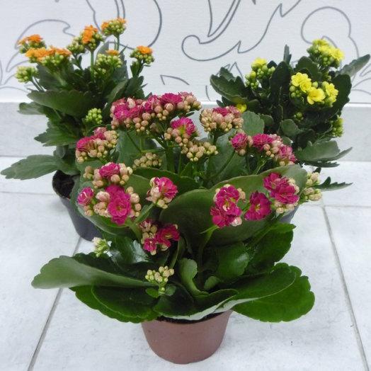 Каланхоэ: букеты цветов на заказ Flowwow