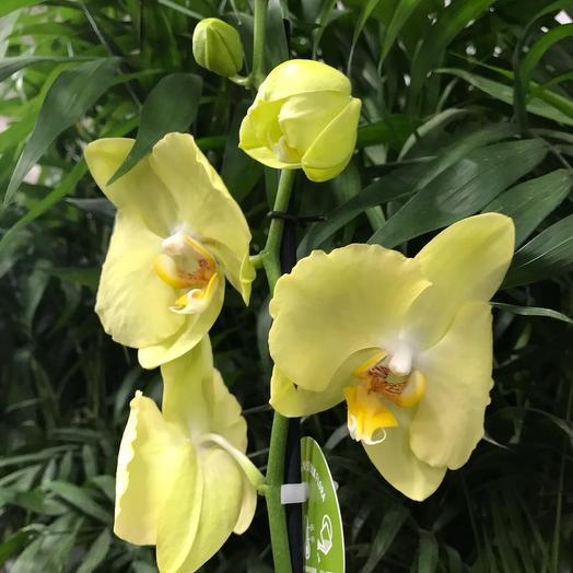 Фаленопсис Лимонный: букеты цветов на заказ Flowwow
