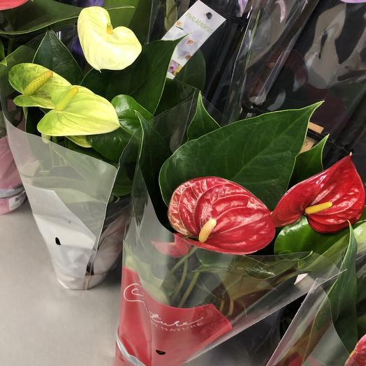 Антуриум микс: букеты цветов на заказ Flowwow