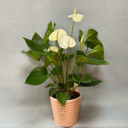 White Anthurium 70 cm