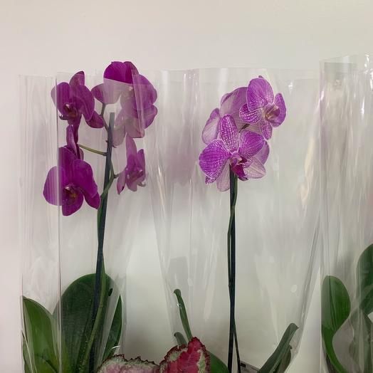 Комнатное растение Орхидея в ассортименте