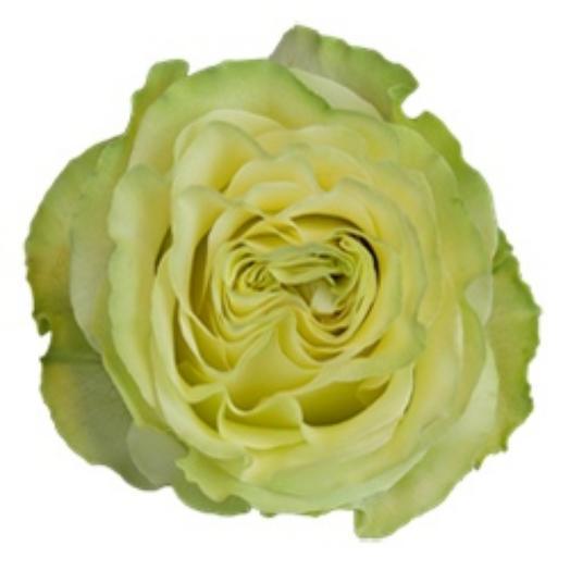 Эквадорская пионовидная роза