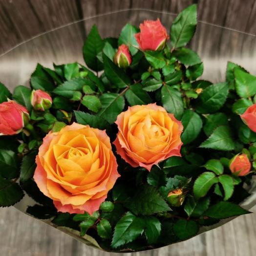 Желто-красная роза в горшке