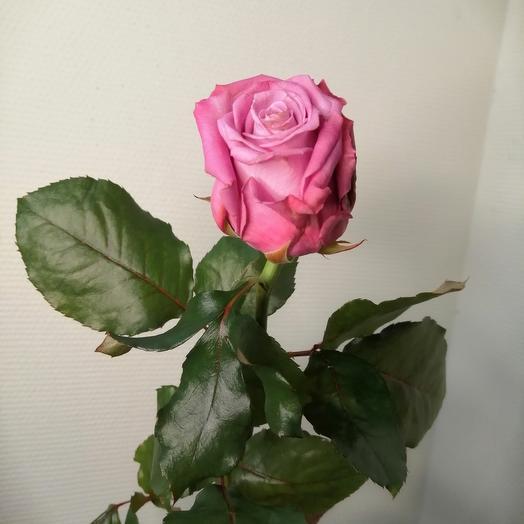 Роза подмосковная Маритим 1шт