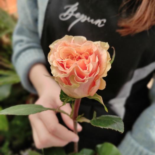 Кремовая роза Phoenix