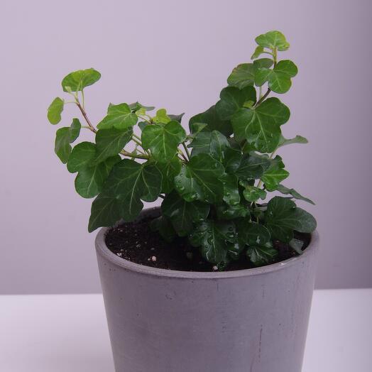 Комнатное растение хедера