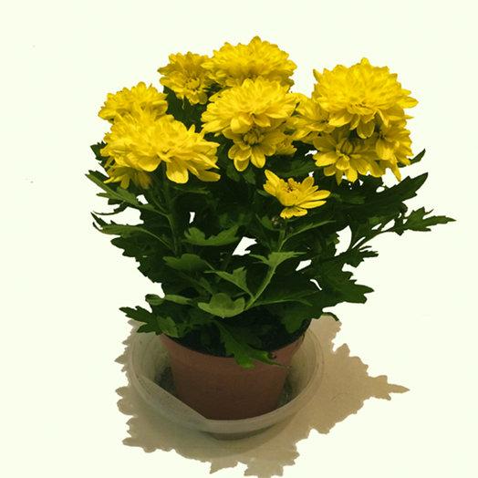 Хризантема комнатная
