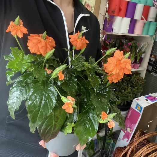 Кросандра: букеты цветов на заказ Flowwow