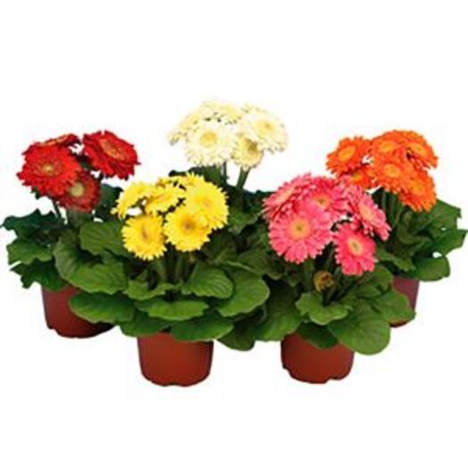 ГЕРБЕРА В АССОРТИМЕНТЕ: букеты цветов на заказ Flowwow