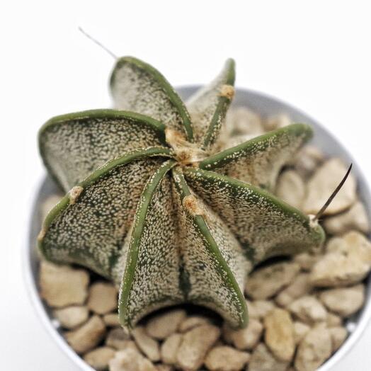 Астрофитум (Astrophytum Capricorne)