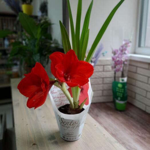 Амариллис с 5  крупными соцветиями