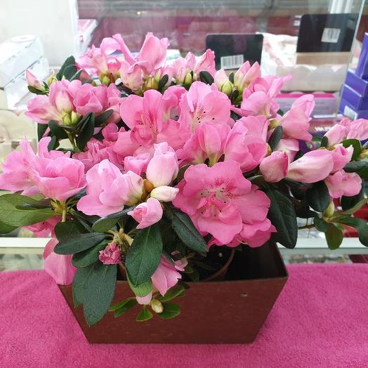 Шикарная азалия: букеты цветов на заказ Flowwow