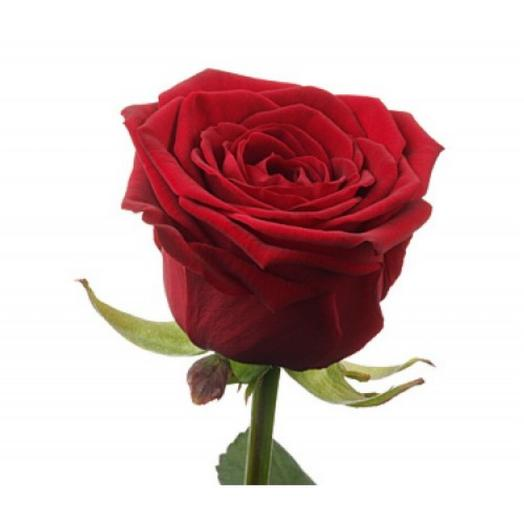 Роза Ред Наоми 50 см