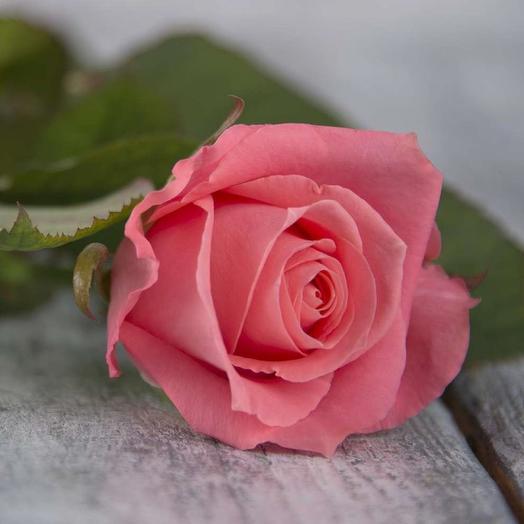 Роза Россия Карина