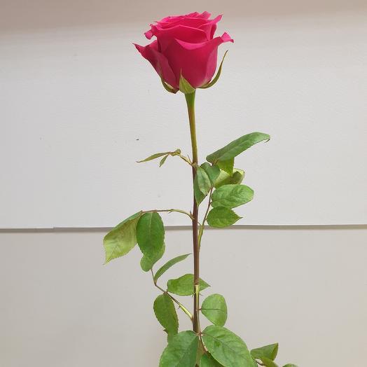 Роза розовая сорт Gotcha Эквадор 70 см