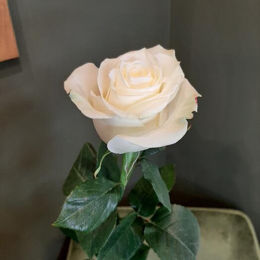 Роза Мондиаль 70 см