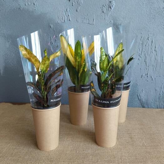 Сувенирное растение