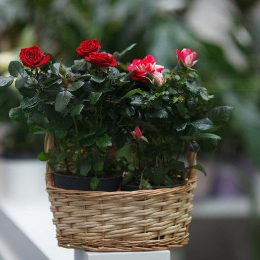 Композиция из горшечных роз: букеты цветов на заказ Flowwow