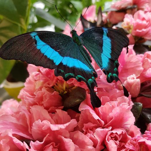 Бакочка Палинур: букеты цветов на заказ Flowwow