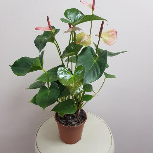 Антуриум 50см: букеты цветов на заказ Flowwow