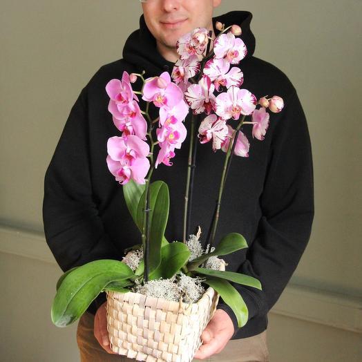Орхидеи Феленопсис