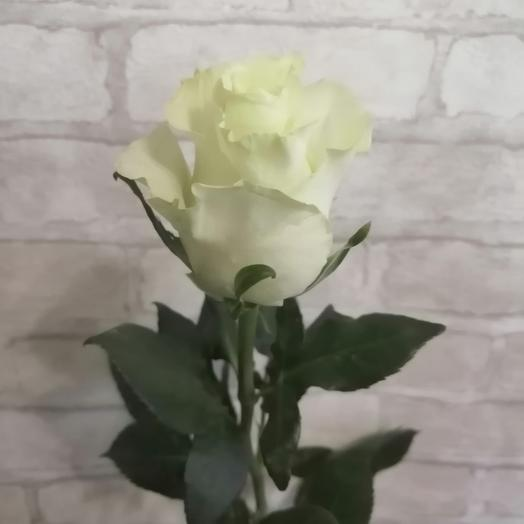Роза Эквадор Мондиаль 1шт 60см