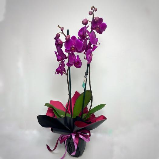 Орхидея Фаленопсис  2 ствола в ассортименте