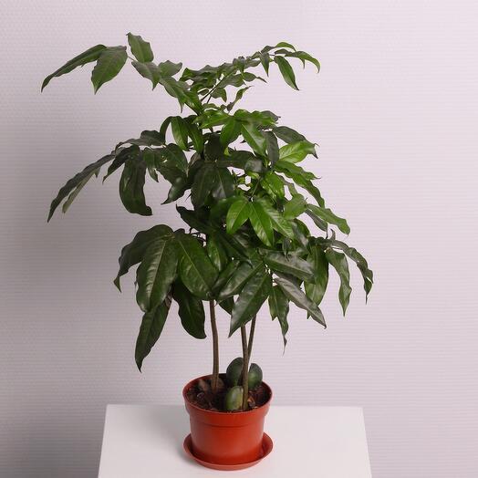 Комнатное растение «Каштан»