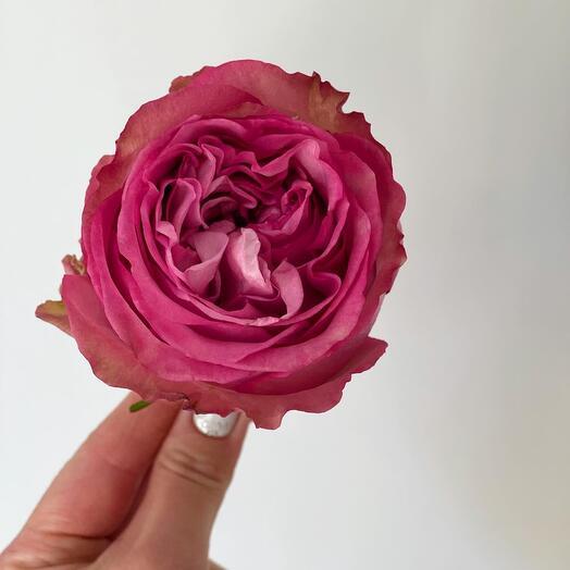 Роза queen s пионовидная