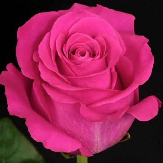 Розы Pink Floid