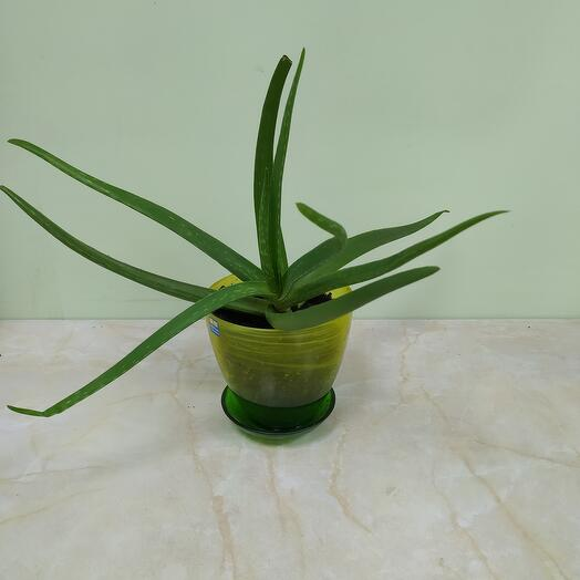 Комнатное растение  Алое Вера в керамическом кашпо