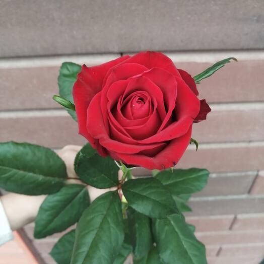 Роза Амор