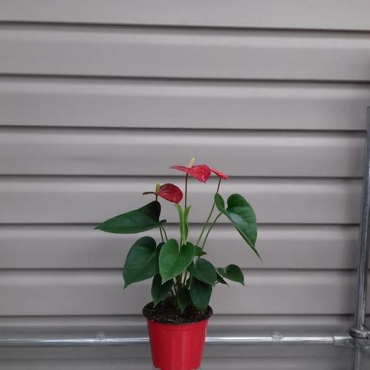 Горшечное растение Антуриум