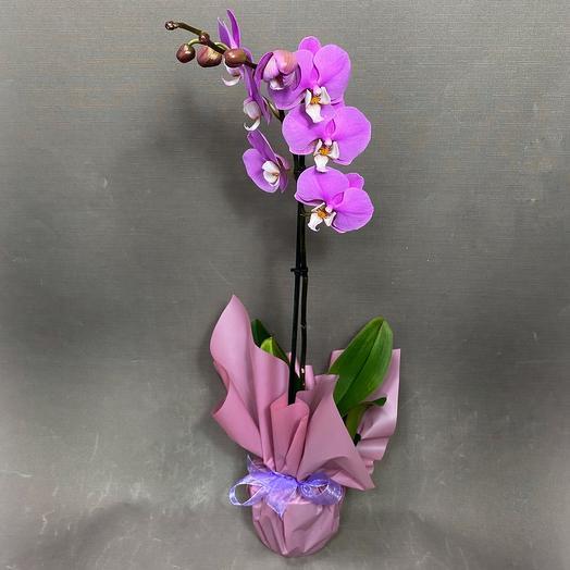 Орхидея Фаленопсис (в ассортименте)
