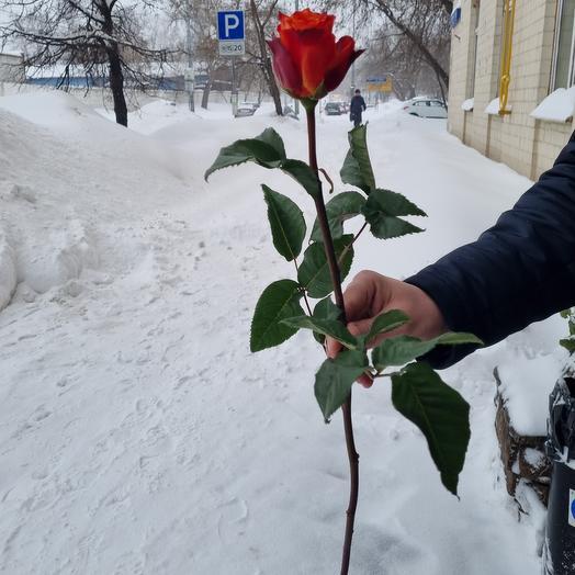 Роза хай мэджик 60 см