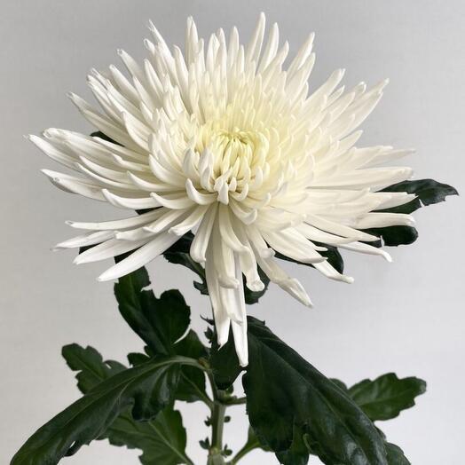 Хризантема одноголовая «Анастасия»