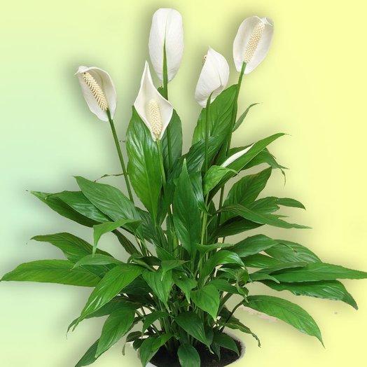 Спатифиллум. Женское счастье: букеты цветов на заказ Flowwow