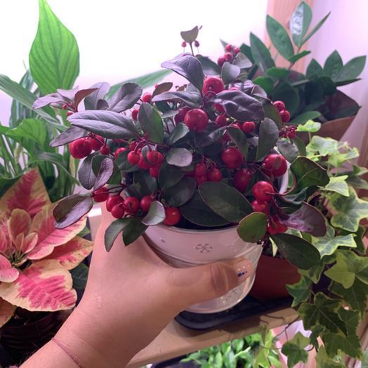 Гаултеррия: букеты цветов на заказ Flowwow