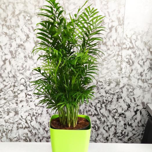 Хамедорея или бамбуковая пальма