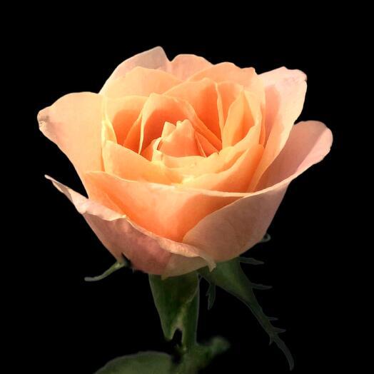 Роза Miss Piggy 60 см
