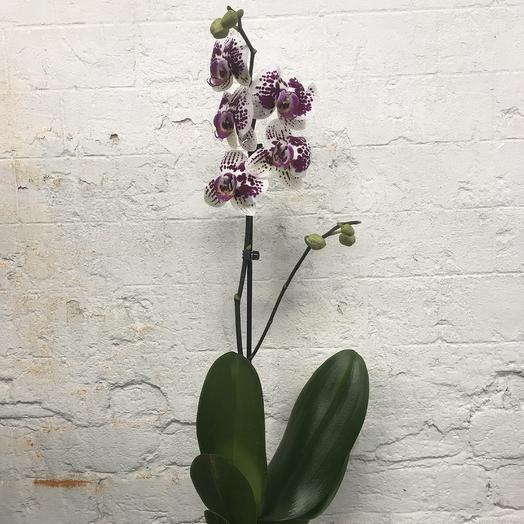 МеджикОрхид 2: букеты цветов на заказ Flowwow