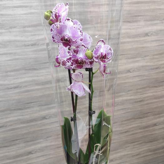 Орхидея 2 стрелы