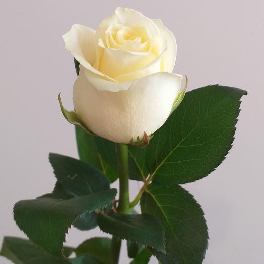 Белая роза, 50см