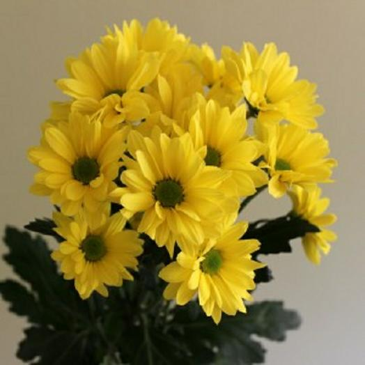 "Хризантема кустовая ""Бакарди желтая"" ромашка 60 см"