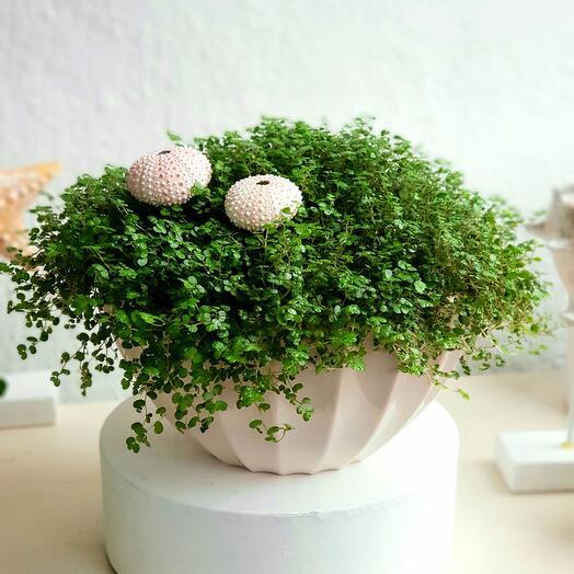 Комнатное растение Солейролия