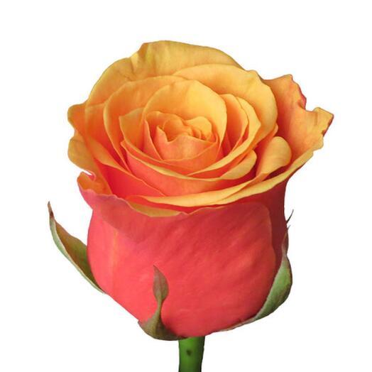 Роза Испания (Espana)