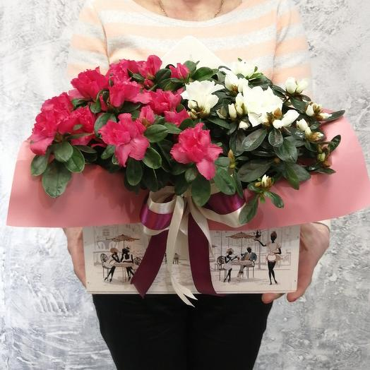Прекрасная азалия в конверте с атласными лентами: букеты цветов на заказ Flowwow